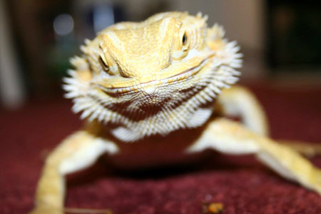 Pagona, our bearded dragon is a featured attraction at our school presentations.