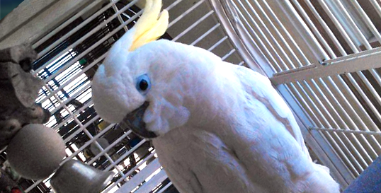 Triton Cockatoo
