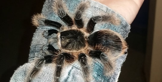 Curly Haired Tarantula
